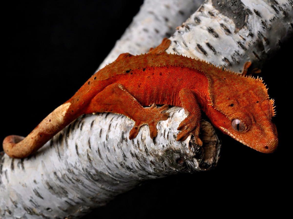 Red Dalmation Bicolor Crested Gecko-I want a red one. I ...