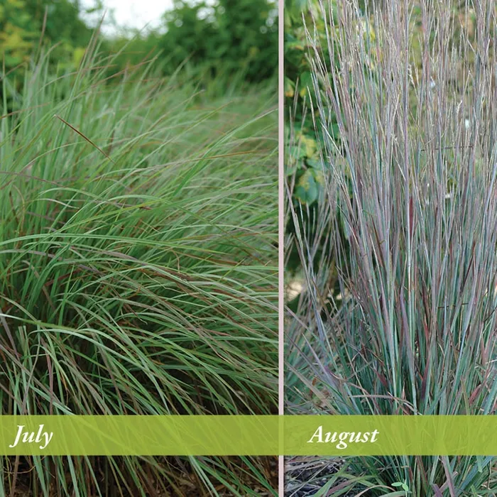 Standing Ovation Little Bluestem Grass High Country Gardens Ornamental Grasses Plants