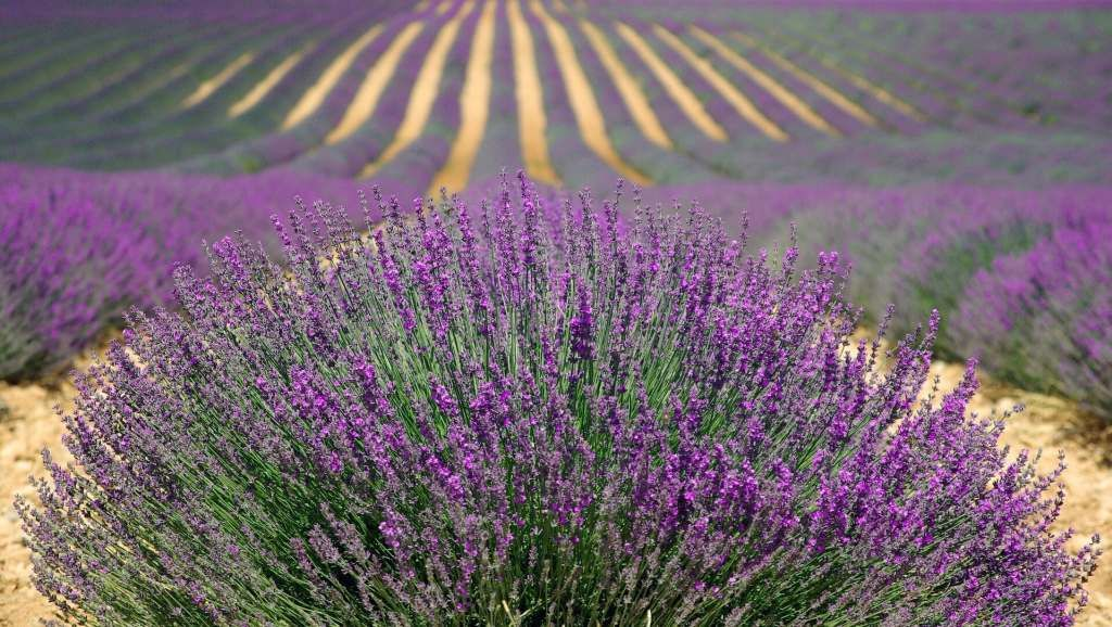 how to grow lavender from seed in singapore