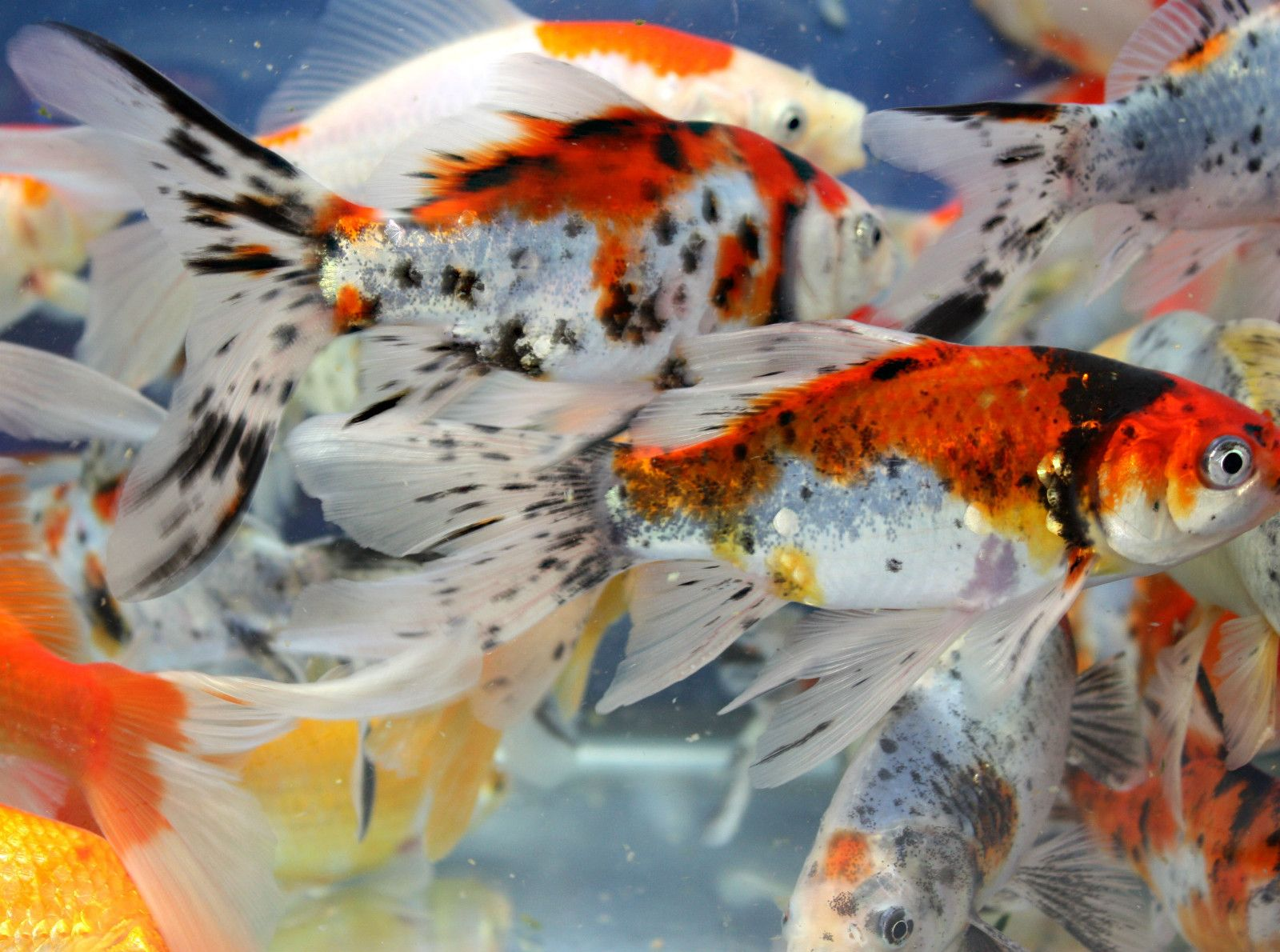 4 live goldfish red yellow comet sarasa shubunkin 4 5 inch for Shubunki fische