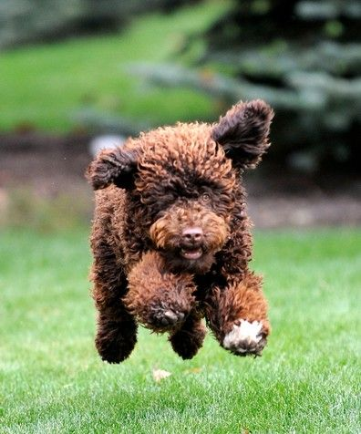 portuguese water puppy Best hypoallergenic dogs, Active
