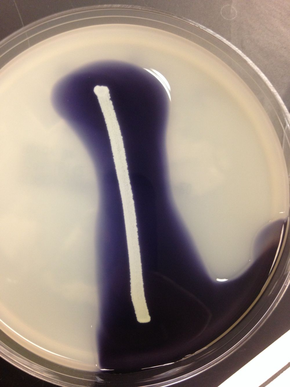 Negative starch hydrolysis test. Iodine is the reagent