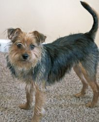 Adopt Baxter Courtesy Listing On Yorkie Dogs Terrier Mix Dogs