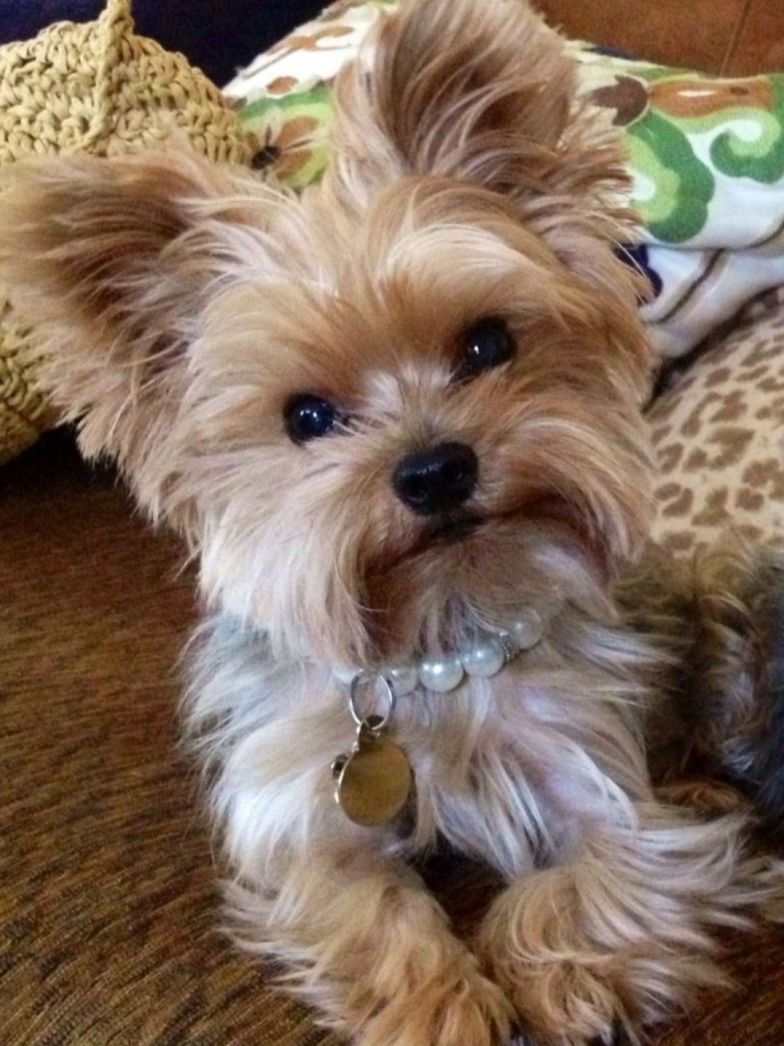 Pin By Vania Macedo On All About The Dog Yorkie Puppy Yorkshire Terrier Puppies Cute Animals