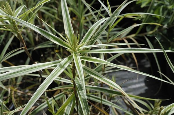 Ornamental Grass List By Scientific Name P 1 Plants Ornamental Grasses Plant Leaves