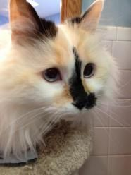 Madelyn Ragdoll Up For Adoption In Buffalo Ny Calico Cat Pet Search Pet Adoption