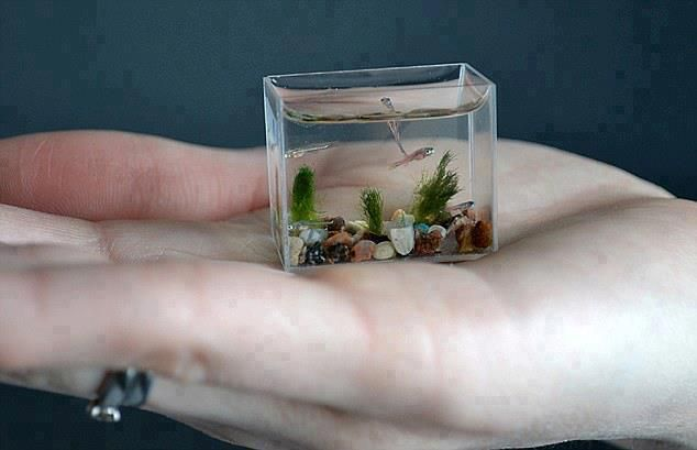 This is the world's smallest working aquarium - which holds just two tea spoons of water.  The miniature wonder, which is made of glass and measures just 30mm wide by 24mm high and 14mm deep, can be held in the palm of your hand.  And it is so small there is only room for these tiny zebra fish