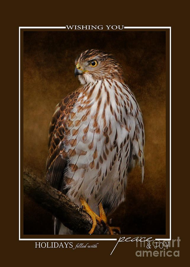 Coopers Hawk Wildlife Christmas Cards Photograph