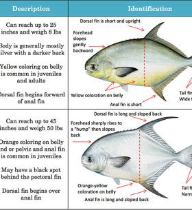 Fish Identification Permit Palometa Pompano Pike Fishing Tips Fish Fishing Tips