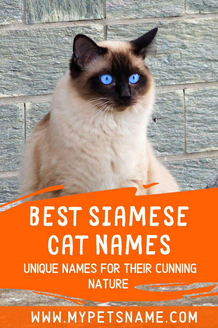 Siamese Cats Are Beautiful Sought After And Often Represented As