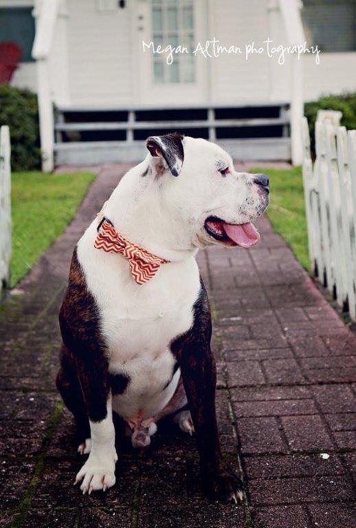 Top Dog Collar Bow Adorable Dog - 2c62e7cd882cf5ec08144ed7757a4c0e  Pic_184711  .jpg