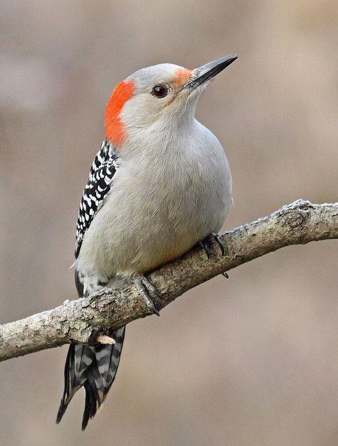 Red-bellied Woopecker #Birds