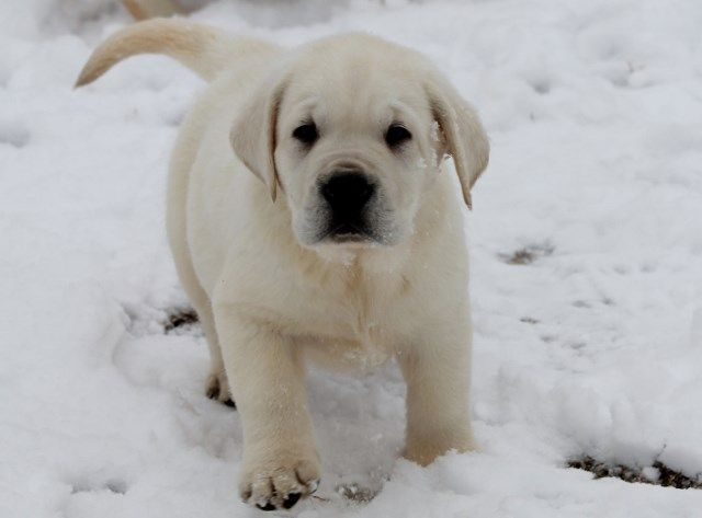 White Labs For Sale Damascus Way Labradors Labrador Retriever