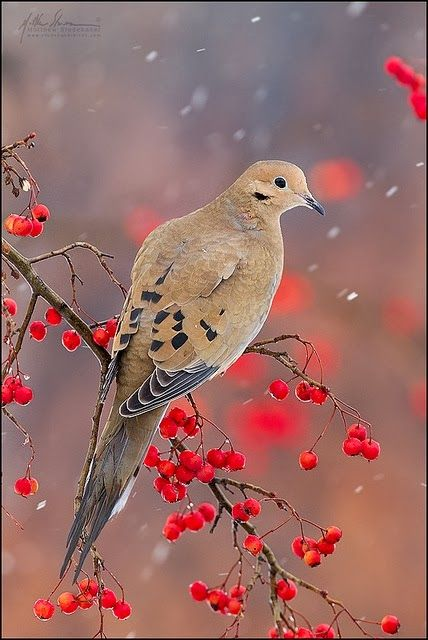 Dove on a snowy day