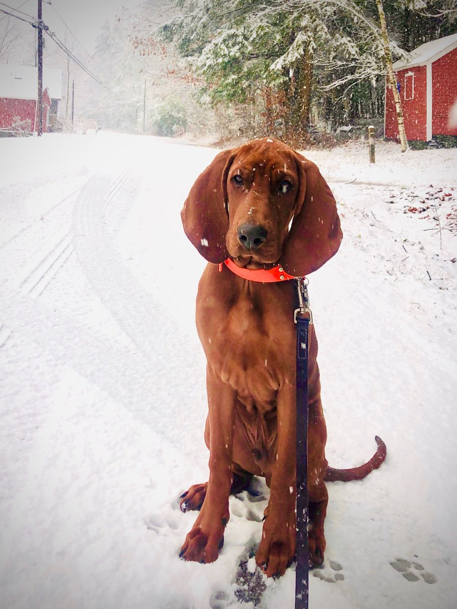 Redbone Coonhound Snowdog Moses With Images Redbone Coonhound Hound Puppies Coonhound