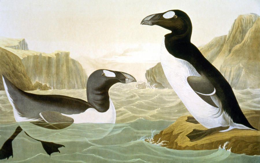 1000  images about Great Auk on Pinterest