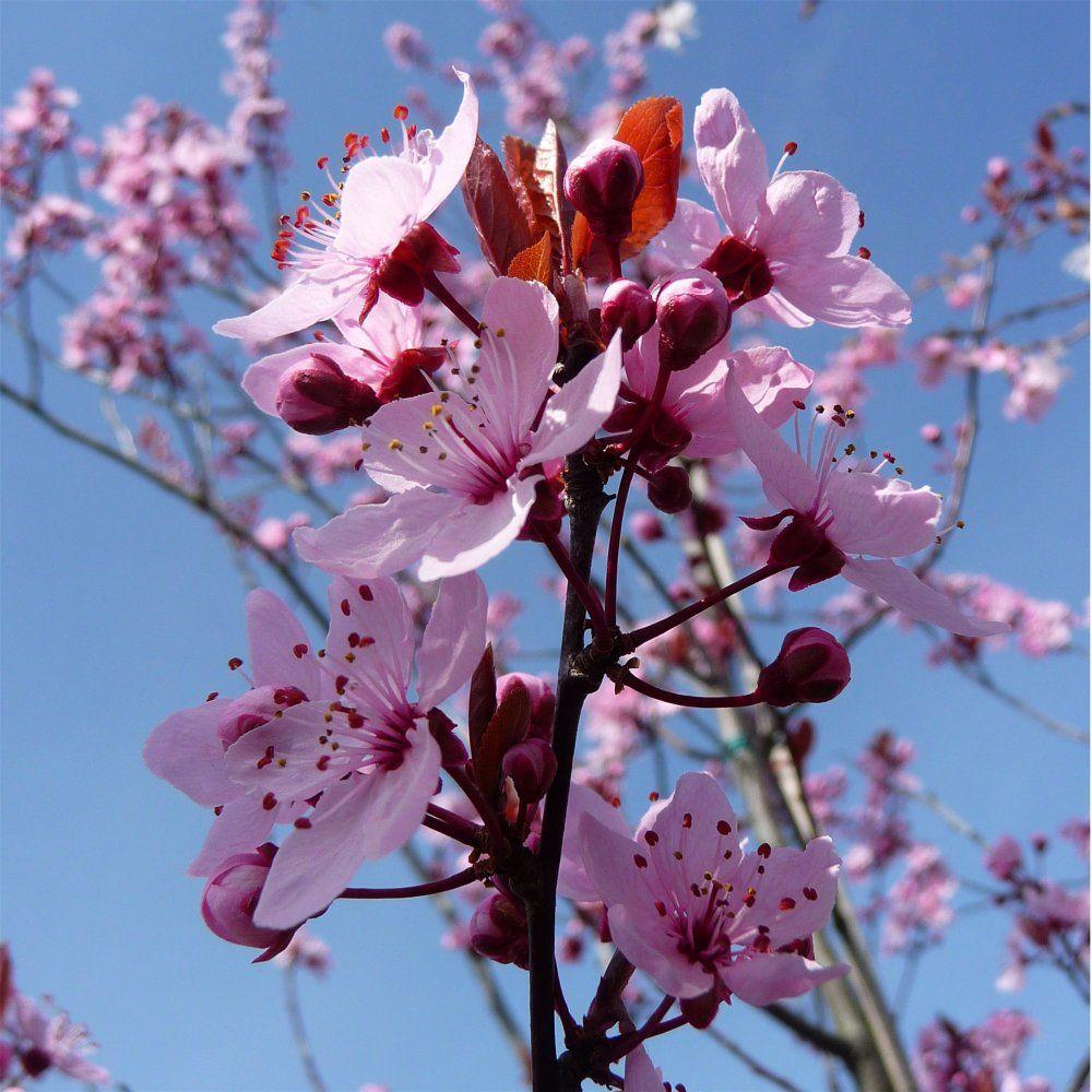 prunus cerasifera nigra tree flowers flower tree. Black Bedroom Furniture Sets. Home Design Ideas
