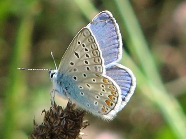 Blauling Bedrohte Tiere Schmetterling Tiere