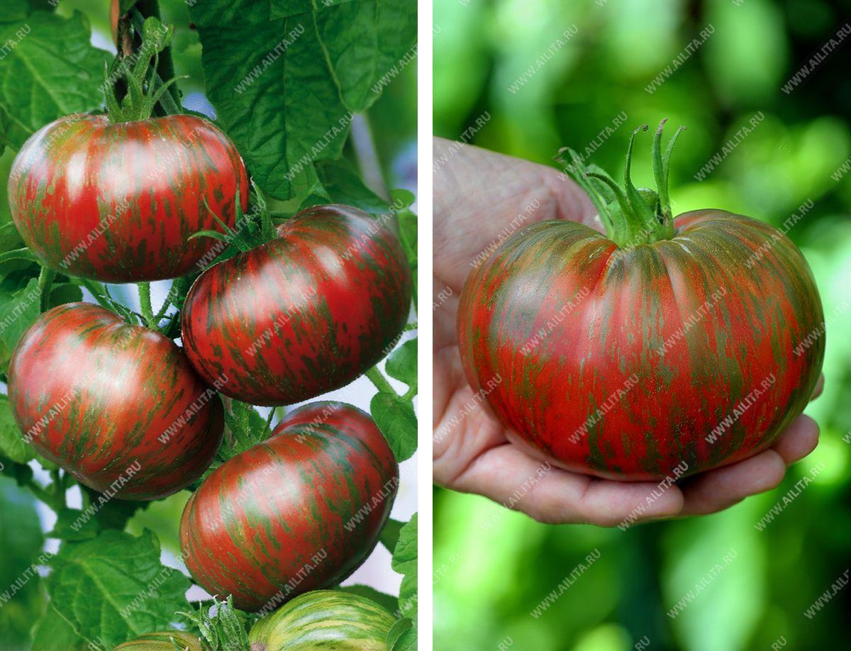 Лечение фитофтороза томатов, ЧАСТНЫЙ ДОМ