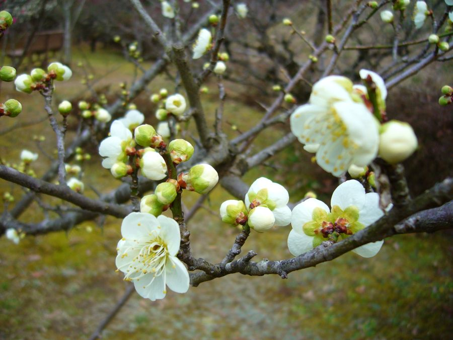 Plum blossom white ikebana and bonsai pinterest march plum blossom white mightylinksfo