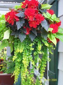 Begonia Hanging Basket With Creeping Jenny Basket Flower Arrangements Hanging Flower Baskets Container Gardening Flowers