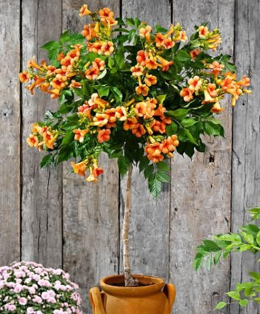 Standard Trumpet Creeper This Compact Campsis Radicans Indian Summer With Ealing Flowers Is Ideal For Smaller Gardens