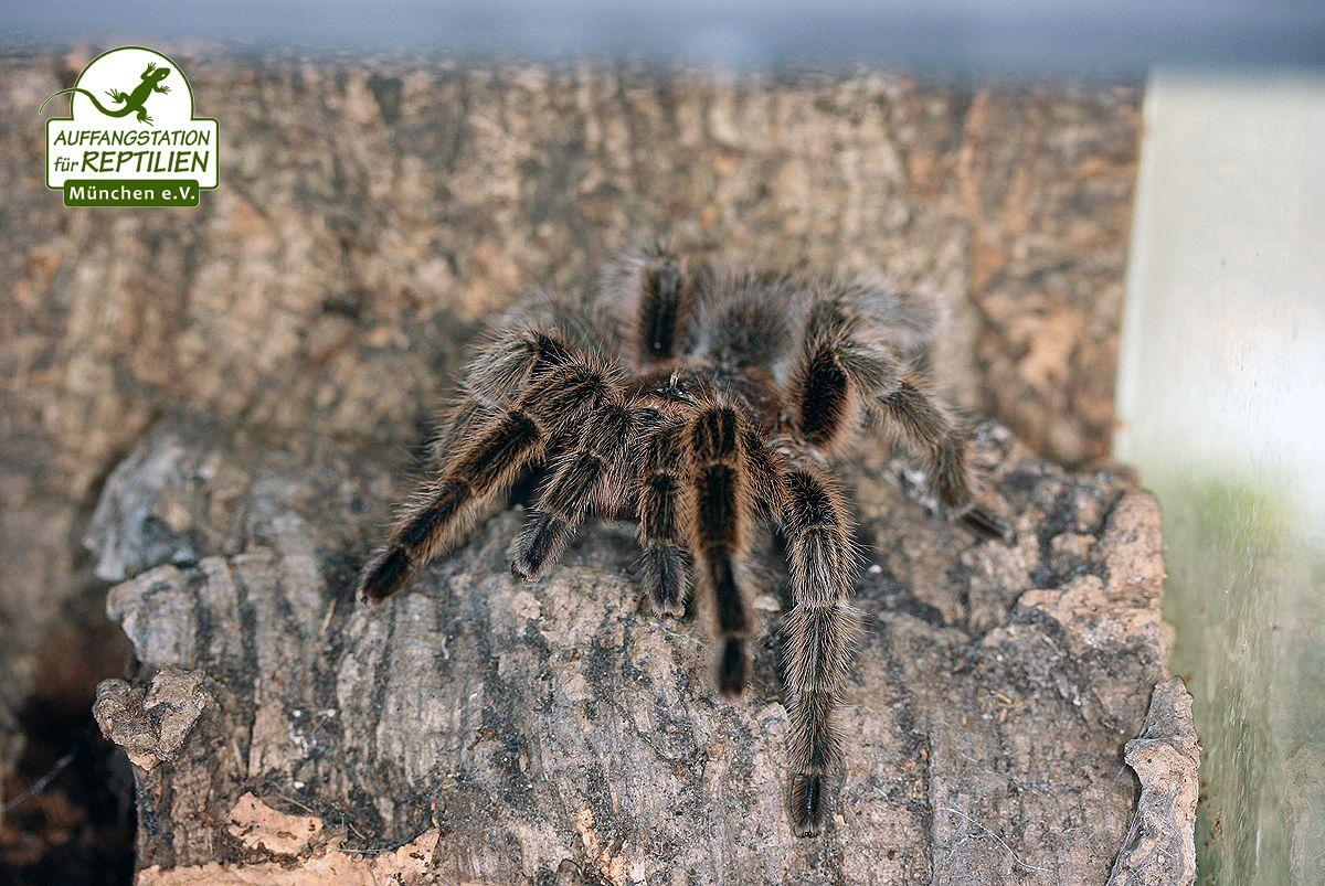 Insgesamt sind Vogelspinnen in ihrer Haltung wenig
