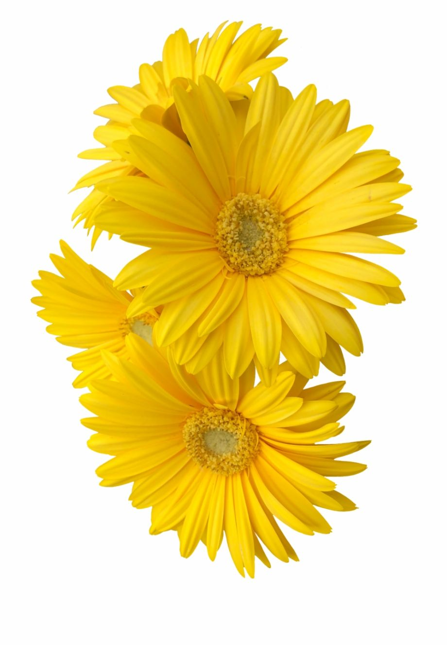 Google Image Result For Https Img Pngio Com Yellow Daisy Flower Flowers Freetoedit Clip Art Sun Flower Yell Yellow Daisy Flower Daisy Flower Ethiopian Beauty