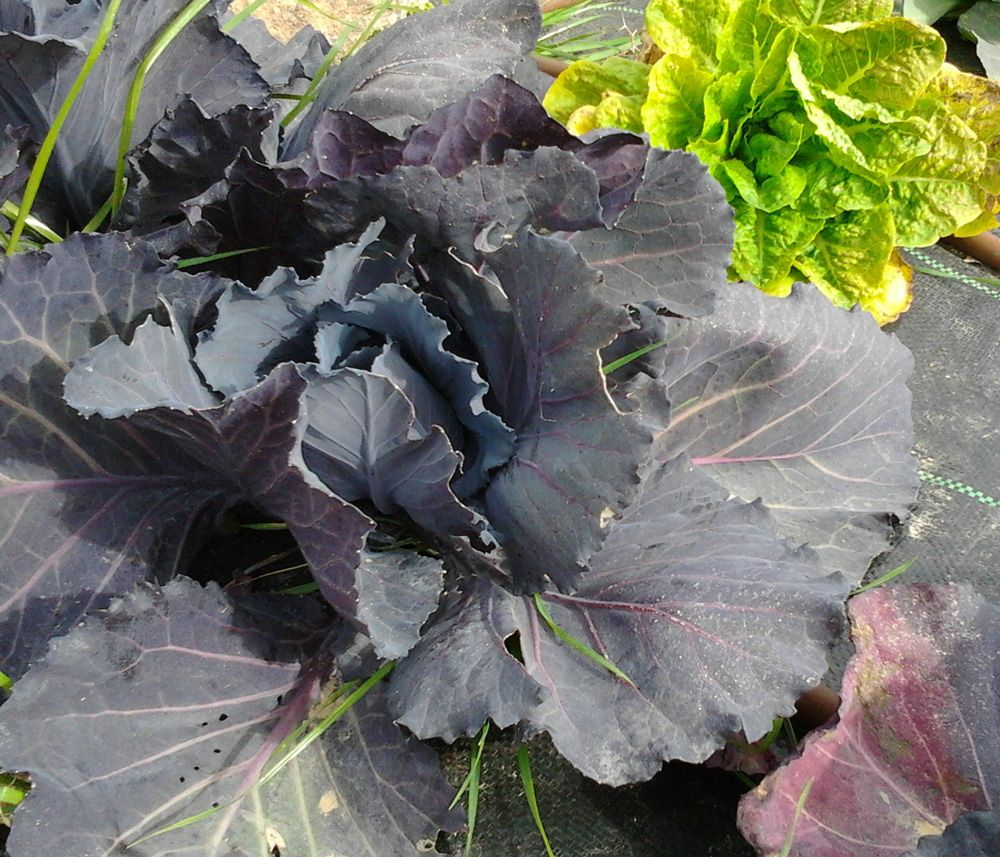 Cabbage cabbage plant plants season plants