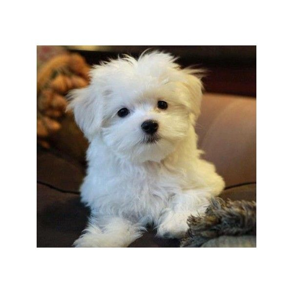 Niko The Maltese Puppies Daily Puppy Liked On Polyvore