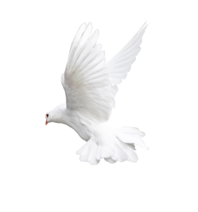 Pigeon Png Images Free Pigeon Png Pictures Download Flying Pigeon Dove Flying Pigeon