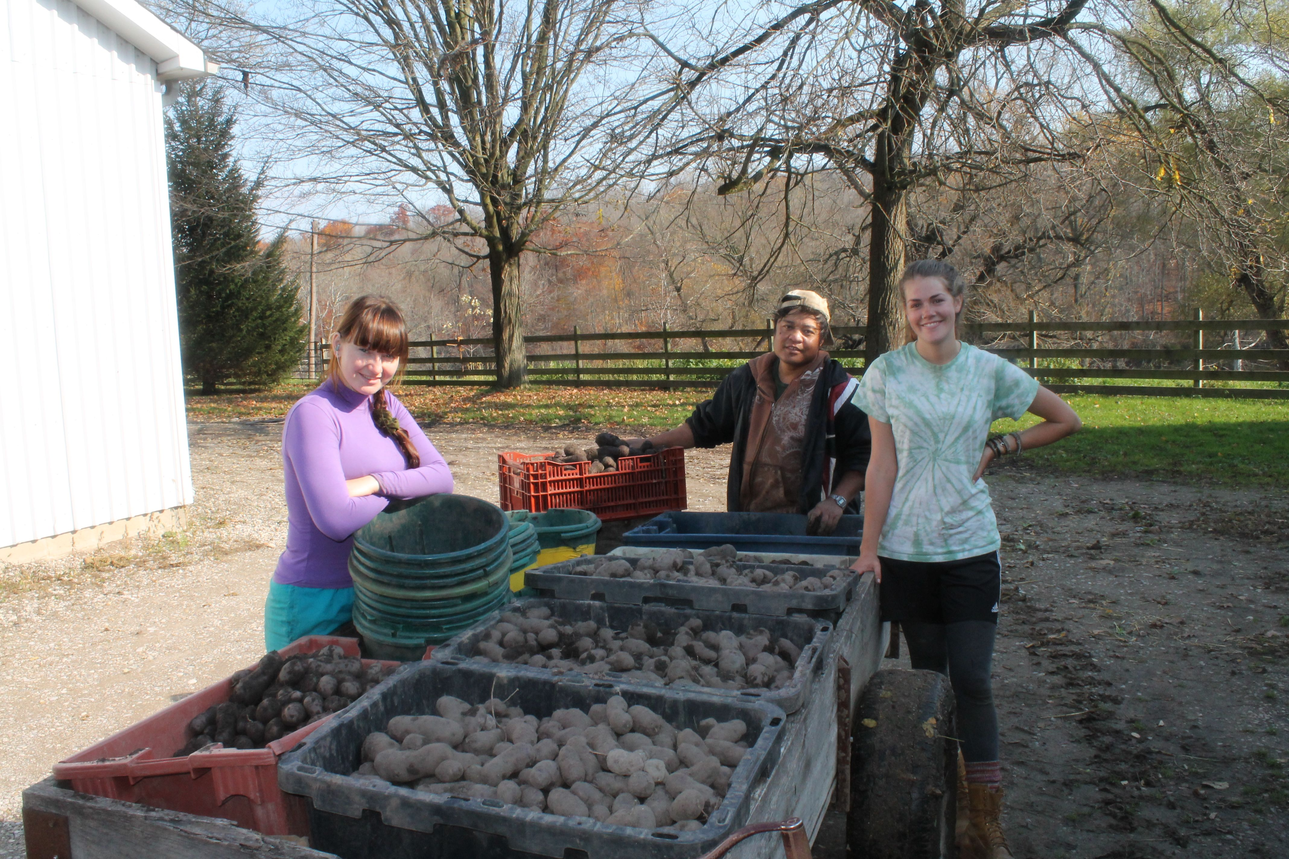 On site: blue potatoes harvested and ready to be packed at Dolway