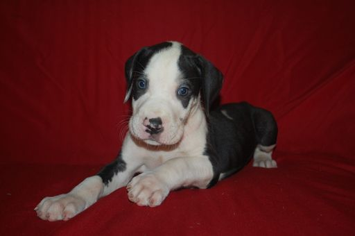 Great Dane Puppy For Sale In Springfield Mo Adn 30778 On