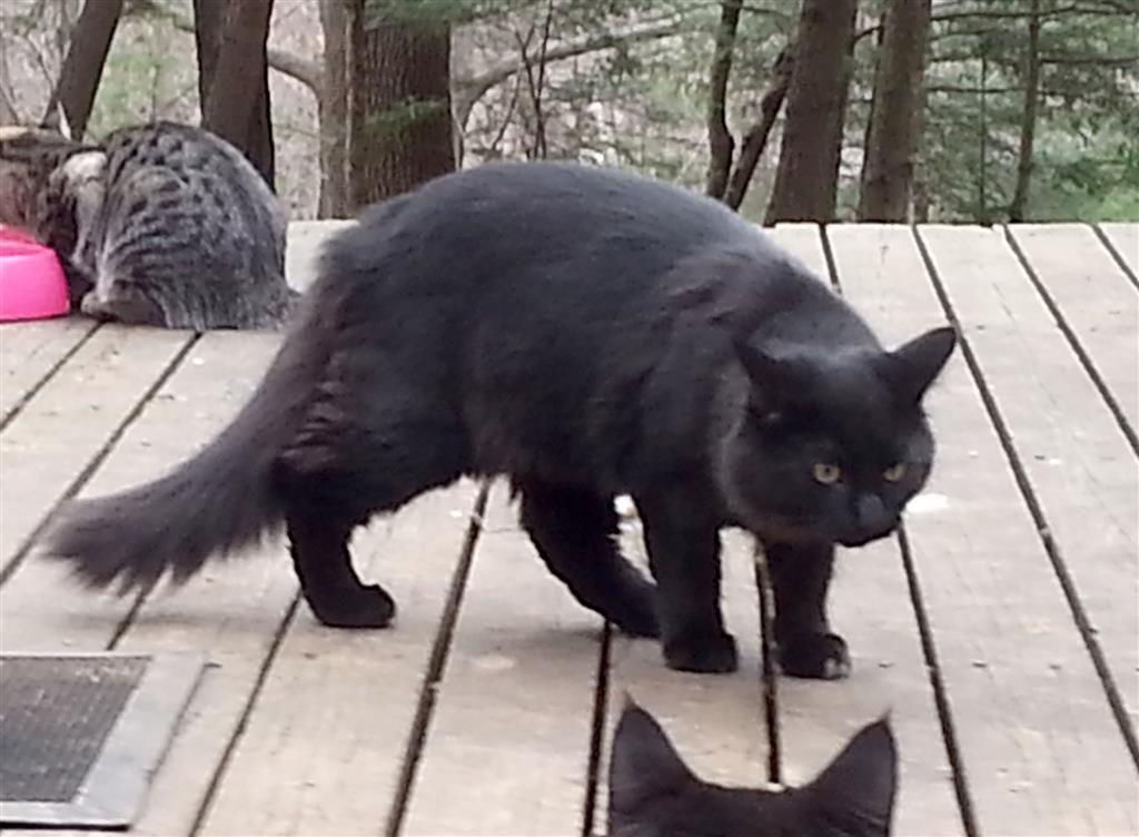 Lost Cat Domestic Long Hair Simsbury, CT, United