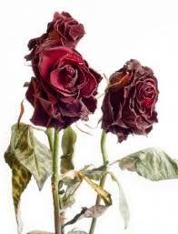 Resultats De Recherche D Images Pour Rose Fanee Roses