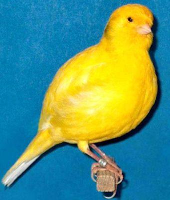 Border Fancy Canary Canary Birds Canary Pet Birds