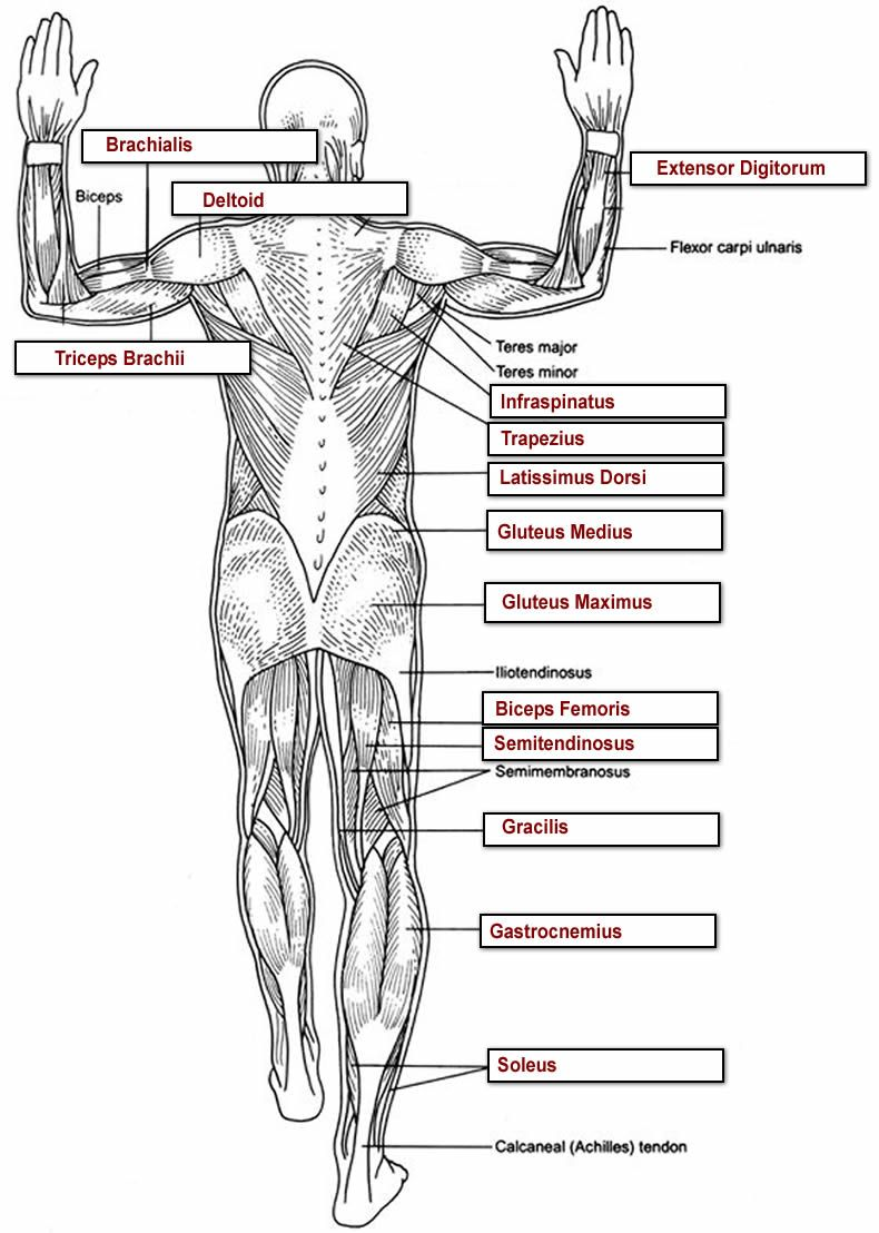 Muscles Labeling Full Body Anatomy And Physiology Muscle Anatomy Physiology