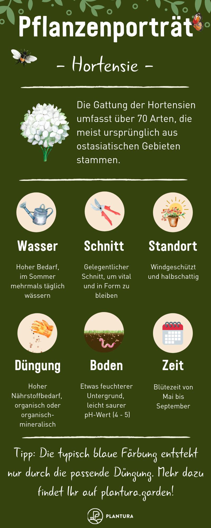 Hortensien: Expertentipps zum Pflanzen, Pflegen & Schneiden - Plantura