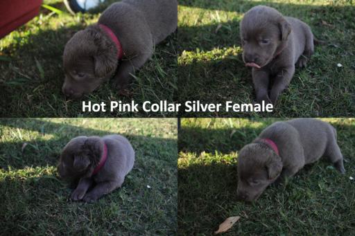 Litter Of 9 Labrador Retriever Puppies For Sale In Cullman Al Adn 48052 On Puppyfinder Com Labrador Retriever Charcoal Lab Puppies Labrador Retriever Puppies