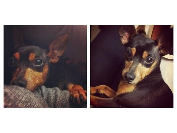 Found Lost Min Pin Dog East Vancouver Min Pin Dogs Dogs