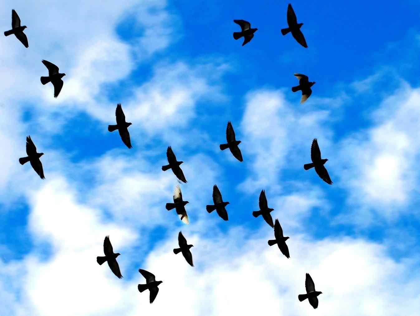 Flying Birds Hd Wallpapers For Desktop Hd Wallpapers Pop Birds Flying Birds Birds In The Sky
