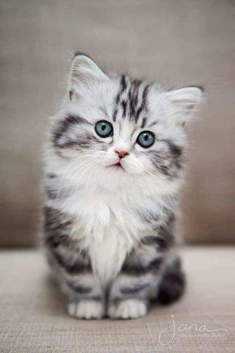 Katzen Bilder Graykittens En 2020 Chats Et Chatons Animaux Adorables Chat Mignon