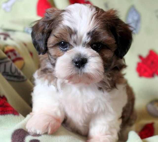Shichon Puppies Teddy Bear Puppies Shichon Puppies Teddy Bear Dog