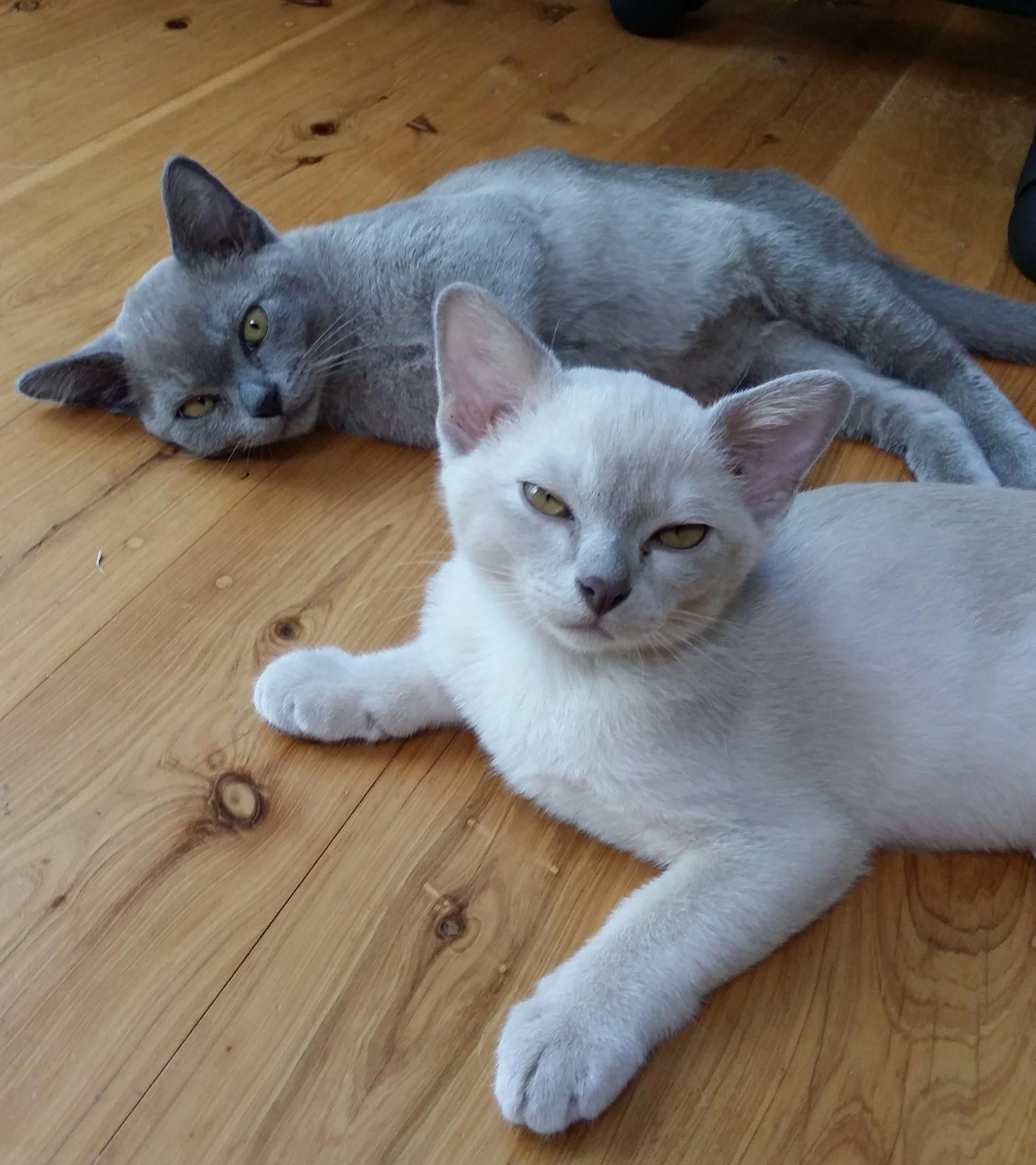 My New Burmese Kittens Have Arrived And As Expected They Ve Taken Over Our Hearts And Our House Mani Pronounced Burmese Kittens Kitten Pictures Burmese Cat