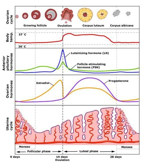 This diagram shows  woman   hormone levels over day cycle no wonder we re all little moody sometimes also rh pinterest