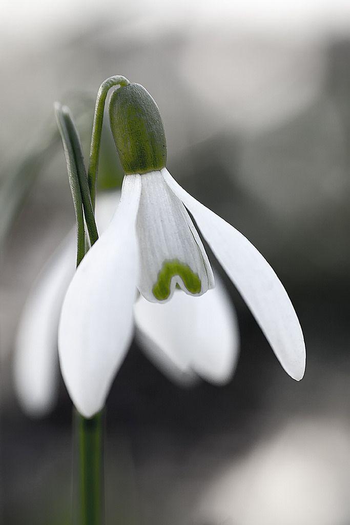 Snowdrop Galanthus Nivalis Rhizome Flowers Photo