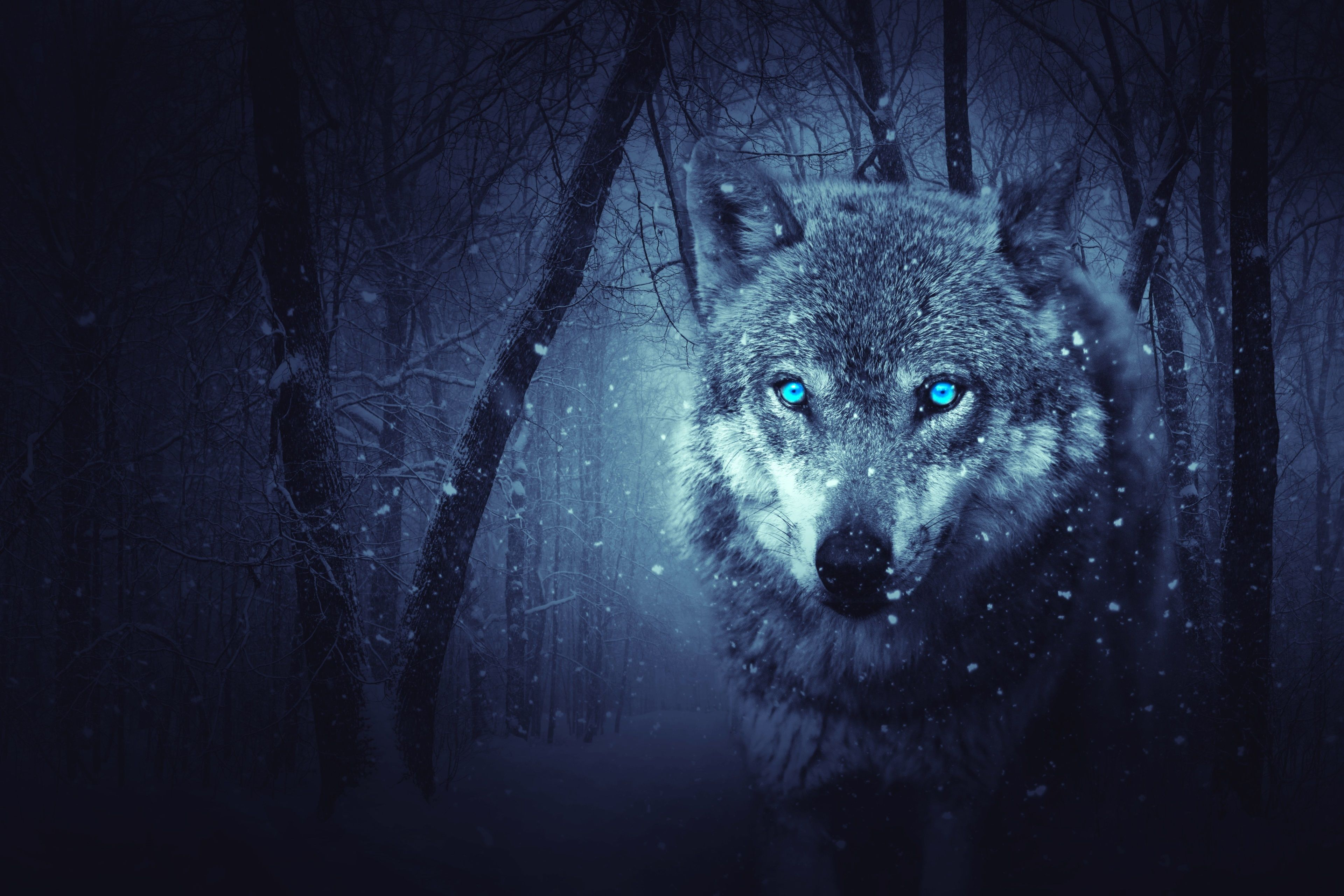 3840x2560 Wild Wolf 4k Pc Wallpaper Hd Wolf Wallpaper Snow Wolf Cat Wallpaper