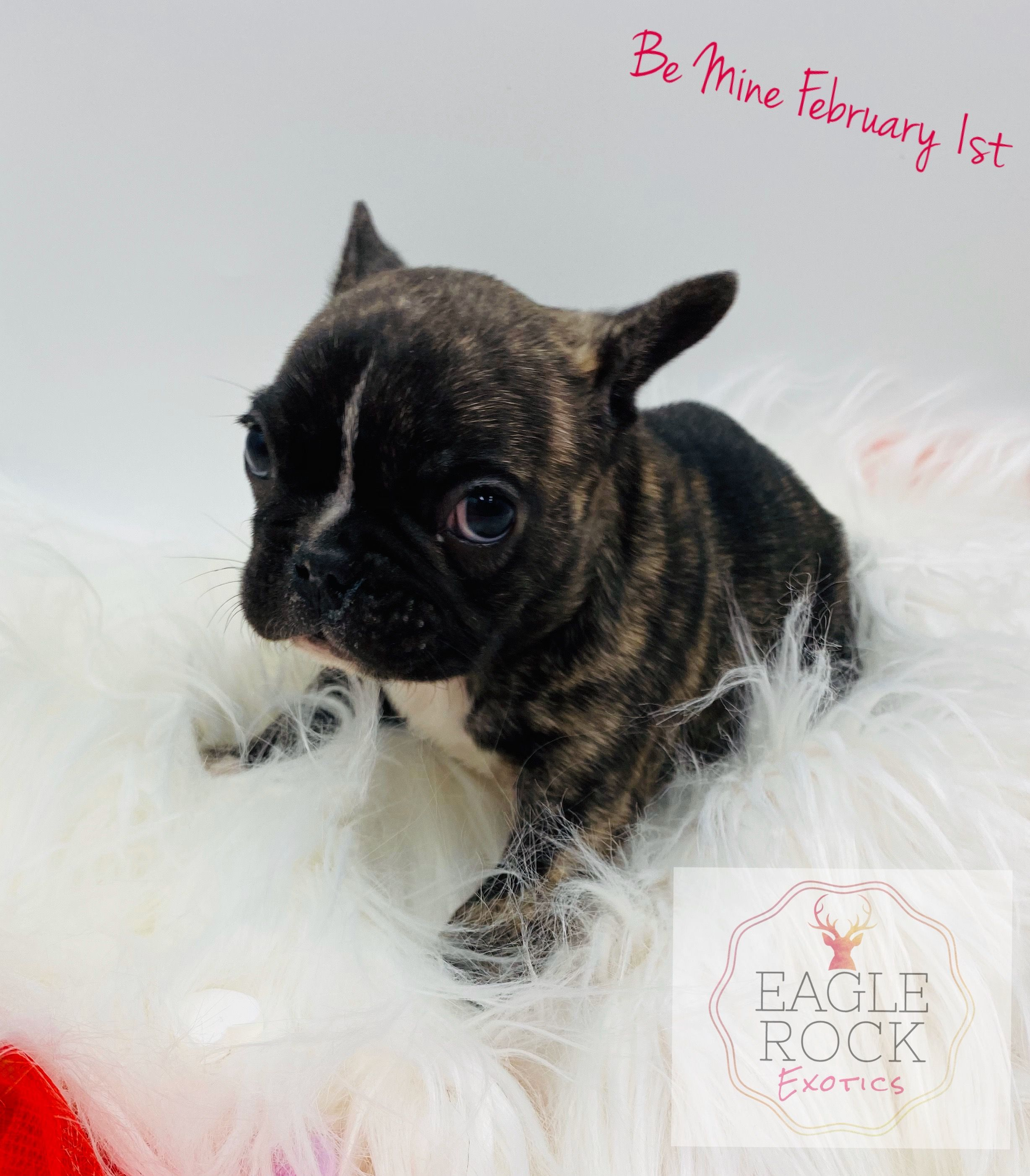 Drumstick pup AKC French Bulldog for sale at Monticello