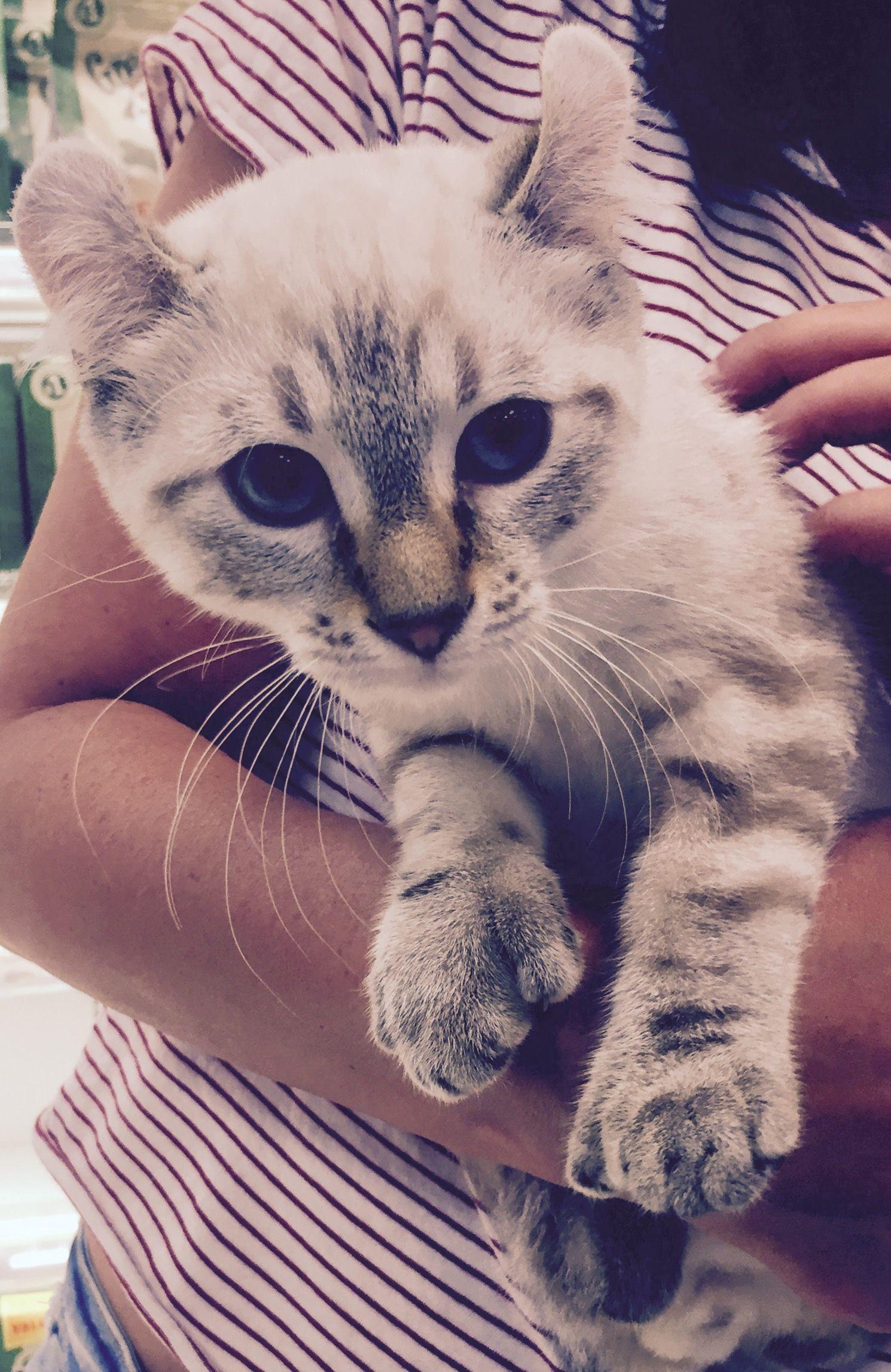 Highland Lynx cat Cats, Animals, Lynx