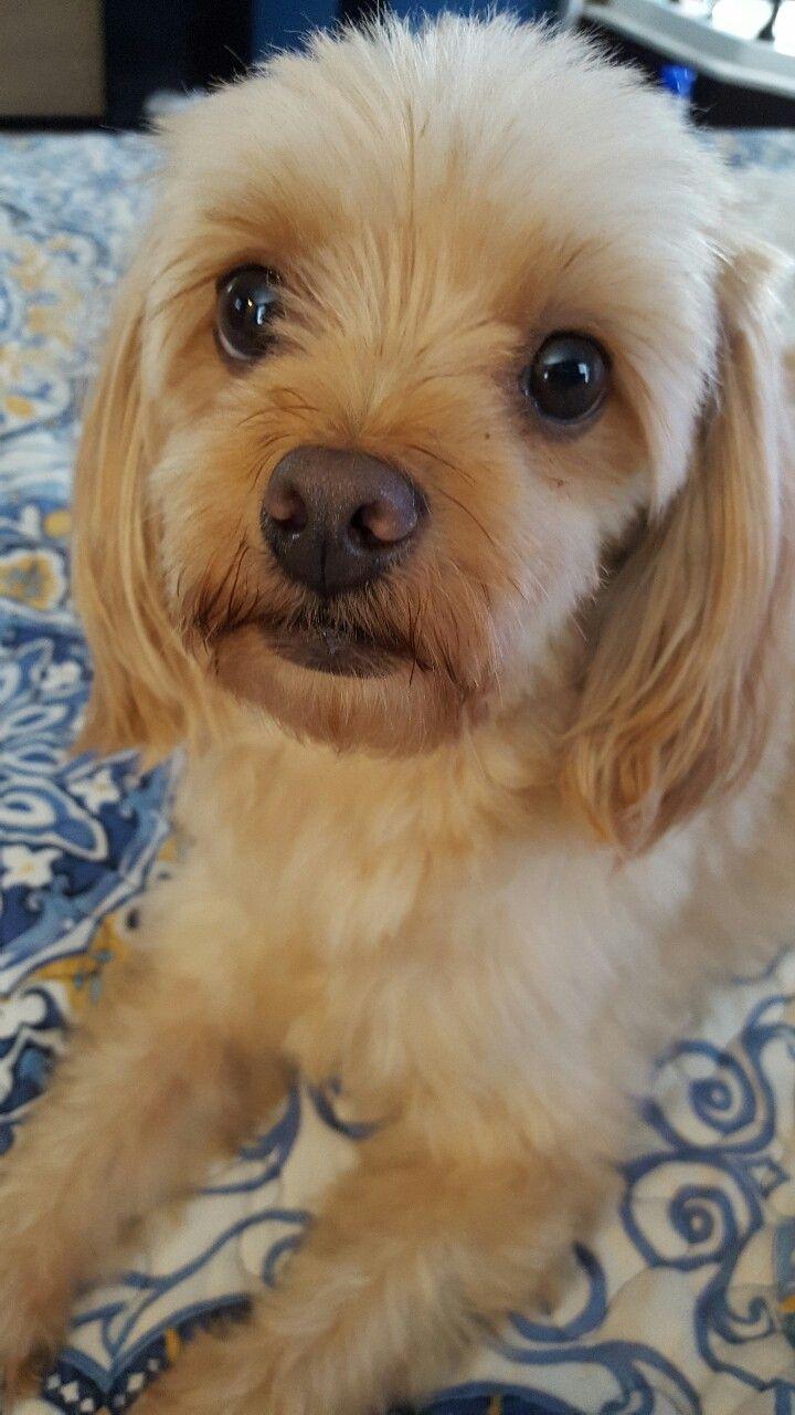 This Is Taser A 5 Year Old Maltipoo Maltese Poodle Mix Designer Dog Maltese Poodle Mix Hybrid Dogs Maltese Poodle